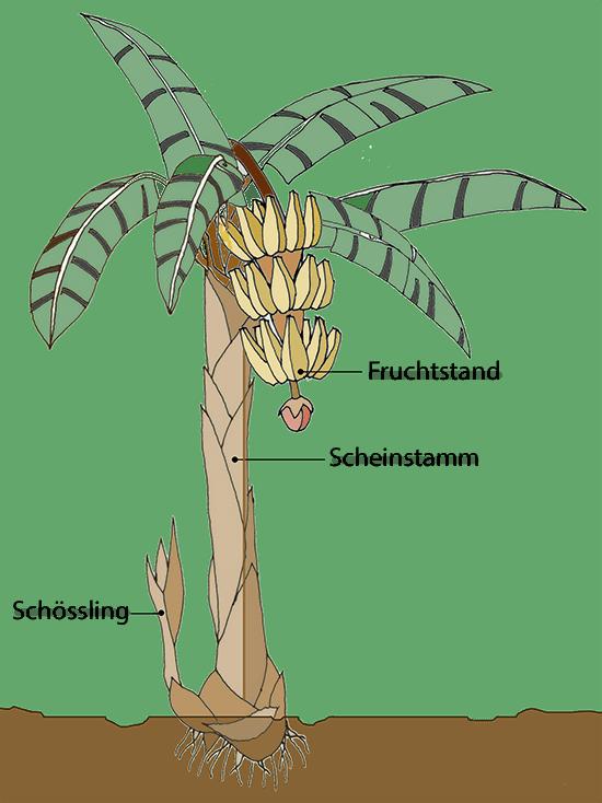 Bananenbaum mit Fruchtstand