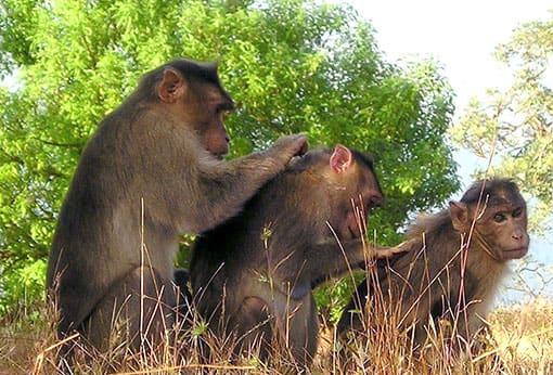 Affen beim Lausen